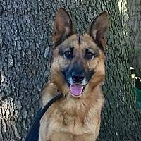 German Shepherd Dog Dog for adoption in Portland, Oregon - Lila