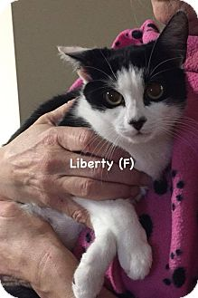 Domestic Shorthair Kitten for adoption in West Orange, New Jersey - Liberty