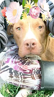 American Pit Bull Terrier Mix Puppy for adoption in Sacramento, California - Deliah, she will melt hearts!