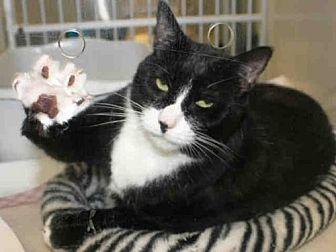 Domestic Shorthair Cat for adoption in Hampton Bays, New York - ZOE