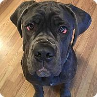 Adopt A Pet :: Diesel - Blue Bell, PA