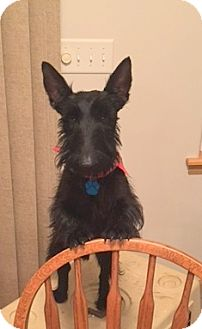 Scottie, Scottish Terrier Dog for adoption in Omaha, Nebraska - Liam II
