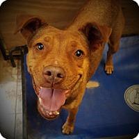 Adopt A Pet :: Kit - Danbury, CT