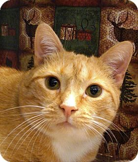 Domestic Shorthair Cat for adoption in Albany, New York - Cajun Cate