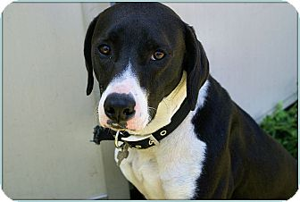Hound (Unknown Type)/Labrador Retriever Mix Dog for adoption in Elmwood Park, New Jersey - Taz