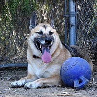 German Shepherd Dog Dog for adoption in San Diego, California - Angel