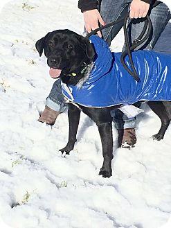 Labrador Retriever/Husky Mix Dog for adoption in Richmond, Virginia - Michael Angelo