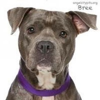 Pit Bull Terrier Mix Dog for adoption in LOS ANGELES, California - BREE