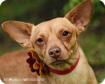 Chihuahua Mix Dog for adoption in Miami, Florida - napoleon