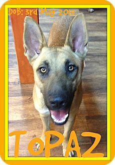 German Shepherd Dog Mix Dog for adoption in Albany, New York - TOPAZ