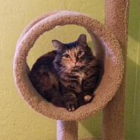 Adopt A Pet :: Comet - Tucson, AZ