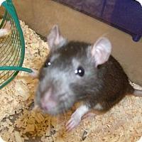 Adopt A Pet :: 1705-1630 Remi - Virginia Beach, VA