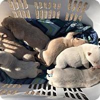 Adopt A Pet :: Clover Puppies - Kyle, TX