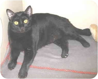 Bombay Cat for adoption in Mesa, Arizona - Sissy