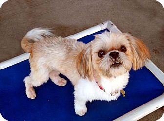 Shih Tzu/Lhasa Apso Mix Dog for adoption in Los Angeles, California - DORIE