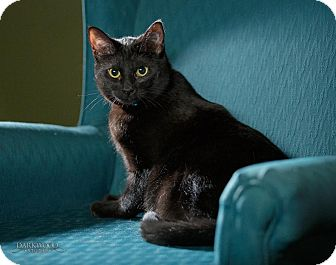 Domestic Shorthair Cat for adoption in St. Louis, Missouri - Flicka