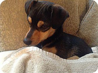 Dachshund Mix Dog for adoption in Gig Harbor, Washington - Ben