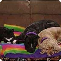 Adopt A Pet :: Rain - Wauwatosa, WI
