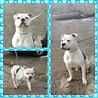 American Bulldog Dog for adoption in Godfrey, Illinois - Leo