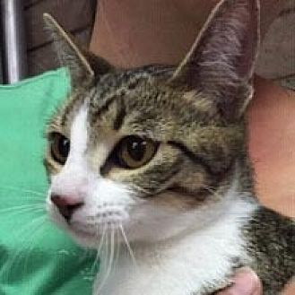Domestic Shorthair Cat for adoption in Phoenix, Arizona - Andrina
