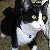 Domestic Mediumhair Cat for adoption in Cookeville, Tennessee - Chevy
