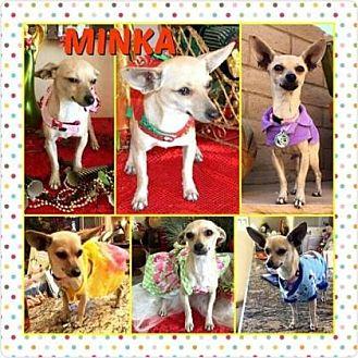 Chihuahua Dog for adoption in Scottsdale, Arizona - Minka