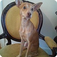 Miniature Pinscher/Chihuahua Mix Puppy for adoption in Gaithersburg, Maryland - Dutch