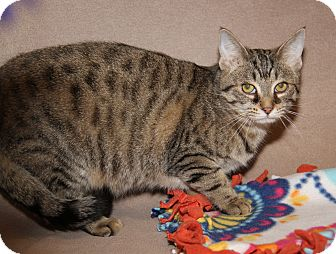 Domestic Shorthair Cat for adoption in Marietta, Ohio - Betsy (Spayed) - New Photos