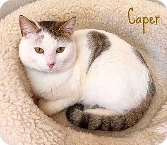 Domestic Shorthair Cat for adoption in Smithtown, New York - Caper