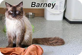 Domestic Shorthair Cat for adoption in Batesville, Arkansas - Barney