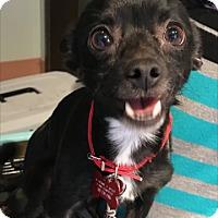 Adopt A Pet :: Rikki - Las Vegas, NV