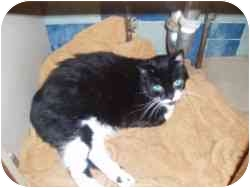 Domestic Mediumhair Cat for adoption in North Boston, New York - Sallie