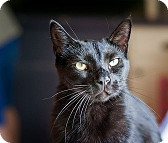 Domestic Shorthair Cat for adoption in Carencro, Louisiana - Wolverine