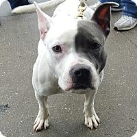 Adopt A Pet :: Star - Bronx, NY