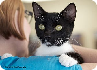 Domestic Shorthair Cat for adoption in Knoxville, Tennessee - Boots