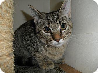 Domestic Shorthair Kitten for adoption in Milwaukee, Wisconsin - Rio