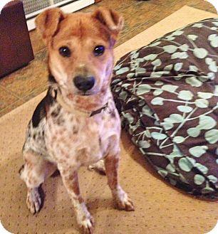 Australian Cattle Dog Mix Dog for adoption in Bergheim, Texas - Doug