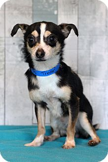Chihuahua Mix Dog for adoption in Waldorf, Maryland - Trevor