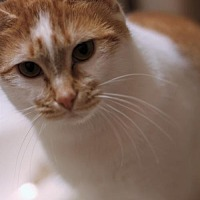 Adopt A Pet :: Butterscotch - New Castle, DE