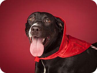 Labrador Retriever Mix Dog for adoption in Dallas, Texas - Daffodil