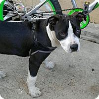 Adopt A Pet :: BAM BAM - Hollywood, FL