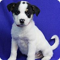 Adopt A Pet :: Robbie - Westminster, CO