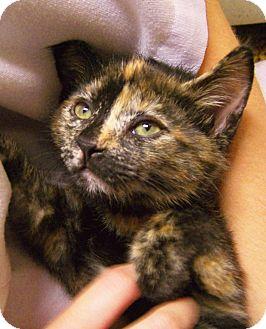 American Shorthair Kitten for adoption in Toledo, Ohio - Meg