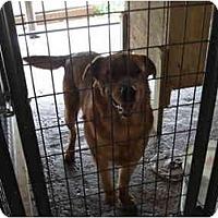 Adopt A Pet :: Chico - Scotland Neck, NC