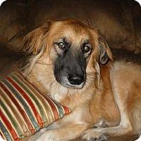 Golden Retriever/German Shepherd Dog Mix Dog for adoption in Eddy, Texas - Fallon