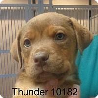 Adopt A Pet :: Thunder - Greencastle, NC