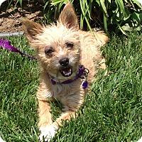 Adopt A Pet :: Gidget - Burbank, CA