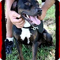 Rottweiler Mix Dog for adoption in Lake Jackson, Texas - Boudreaux ~ in foster