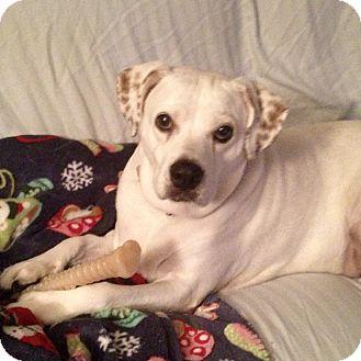 Beagle/Labrador Retriever Mix Dog for adoption in New York, New York - Gloria