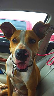 Australian Kelpie/American Bulldog Mix Dog for adoption in San antonio, Texas - Lilly